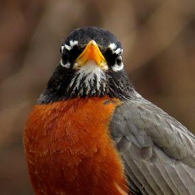 Robin by Erika  Kiley - Novices Only Wildlife ( bird, robin, bird feeder, spring, closeup )