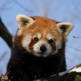 red panda (Ailurus fulgens fulgens) by Marc Zangger - Animals Other Mammals ( winter, ailurus fulgens, wildlife, branch, head, red panda )
