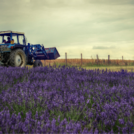 Tractor by Stephanie Veronique - Uncategorized All Uncategorized ( vehicle, transportation, tractor, lavenders, filed )