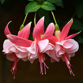 Frilly Fuchsia by Chrissie Barrow - Flowers Flower Gardens ( basket, fuchsia, flowers, pink, green, leaves, stamens, stigmas, gsrden, petals,  )