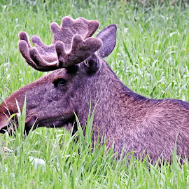 The King by Thor Erik Dullum - Animals Other Mammals ( animals, elg, crown, elk, king of the forest, moose, wildlife, forest, king, portrait, animal )