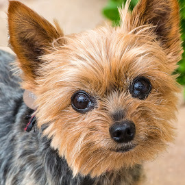 Dolly by Dave Lipchen - Animals - Dogs Portraits ( dolly )