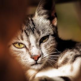 What ? by Plamen Mirchev - Animals - Cats Portraits ( close up, warm, color, lazy, cat, animal, portrait,  )
