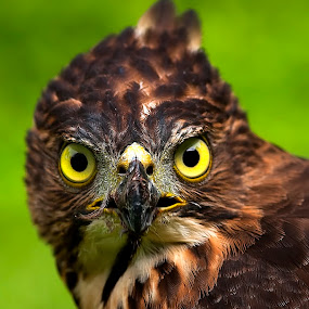 by Lim Darmawan - Animals Birds ( , Redtal Hawk, Redtail Hawk contest )