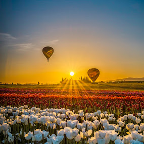 Balloons in a Field of Tulips by Chris Bartell - Landscapes Prairies, Meadows & Fields ( field, tulips, balloons, morning, landscape,  )