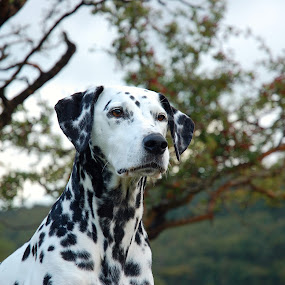 by Lucy Findlay - Animals - Dogs Portraits ( dalmation bitch head shot posed spotty dog countryside )