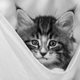 Belissima by Christoph Reiter - Animals - Cats Kittens ( kitten, 500px, cute )