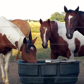 Time for a Drink! by Monica Hayden-Carroll - Animals Horses ( horses drinking, horses, paint horses )