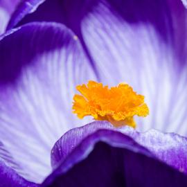 Flower by Tomas Nelsing - Novices Only Macro ( 50mm reverse macro, macro, nature, nikon d7000, flower )