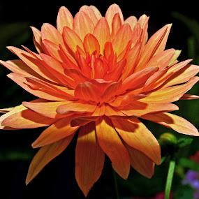 OrangeBlossom by Joanne Burke - Flowers Single Flower