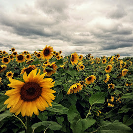 Sunflower field by Marta Rac-Rad - Instagram & Mobile Android