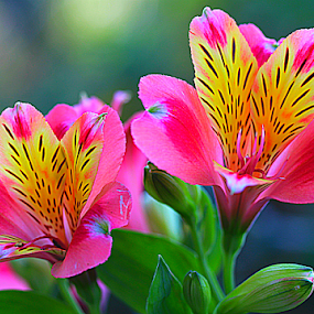 by Carmen Quesada - Flowers Flower Gardens ( lillies, florsl, two, bright, colors, pink, yellow, flowers )
