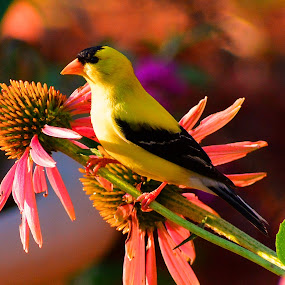 American Goldfinch & and the Coneflower by Bill Martin - Animals Birds ( nature, bird, yellow, animal, perch, goldfinch, flower,  )