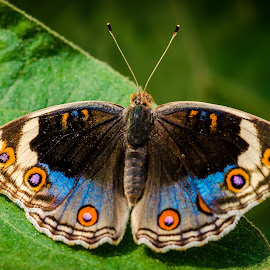 Blue pansy by Sanjeev Goyal - Animals Insects & Spiders ( butterfly, macro, blue pansy, nature, insect )