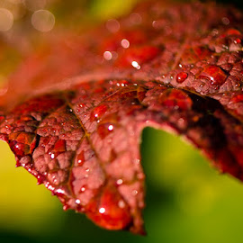 Double File Viberna After A Rain by Stephen Walter - Nature Up Close Leaves & Grasses ( red, leaf, bokeh, closeup, water drop )
