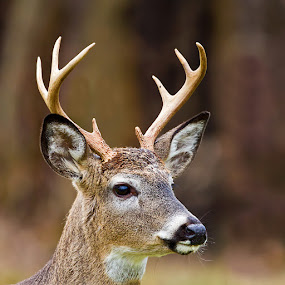 White Tailed Deer by Herb Houghton - Animals Other Mammals ( 8 pointer, white tail, white tailed deer, deer )