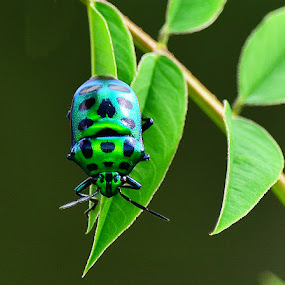 GREEN JEWEL BUG by Gourab Mitra - Animals Insects & Spiders