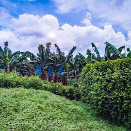 Banana Plantation by Laurie Crosson - Landscapes Prairies, Meadows & Fields ( banana, plantation, banana plantation, costa rica, landscape )