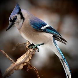 Blue Jay by Paul Mays - Animals Birds (  )