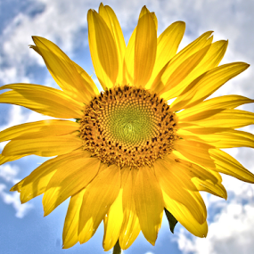 Sunflower in the Sun by Teresa Wooles - Flowers Single Flower ( yellow flower, sunflower )