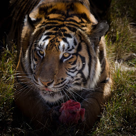 Dinner by Lisa Richardson - Animals Lions, Tigers & Big Cats ( big cats, animals, nature, dinner time, bengal tiger )