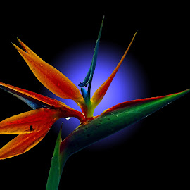 Bird of Paradise  by Asif Bora - Flowers Flowers in the Wild