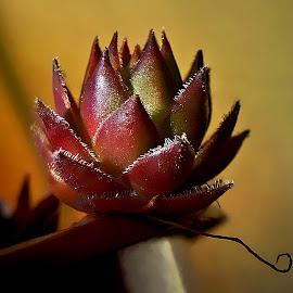 A refugee from the pot .... by Pete Schmit - Nature Up Close Other plants ( sukulent )