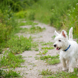 Fred by Jen St. Louis - Animals - Dogs Portraits ( outdoors, west highland white terrier, dog, westie, west highland terrier,  )