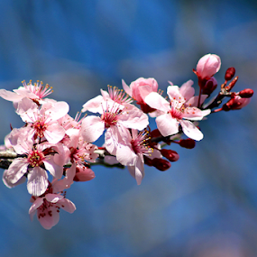 Pink Blossoms #1 by Tony Huffaker - Flowers Tree Blossoms ( tree, pink, flowers, spring, blossoms )