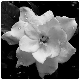 by Nicole Nicolodi - Instagram & Mobile Android ( Gardenia, BlackandWhitePhotography, Flowers, Nature, Garden )