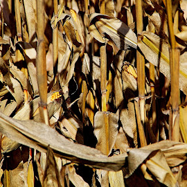 Unharvested by Jazz Johnson - Nature Up Close Other plants ( farm, feed corn, farmautumn, harvest, corn )