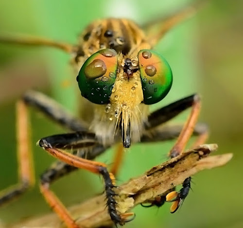 the eye by Ardhy Muhammad - Animals Insects & Spiders ( robberfly )