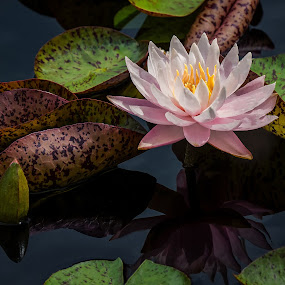 Lily Pond by Jon Kinney - Flowers Flower Gardens