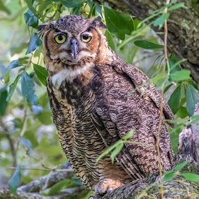 Great Horned Owl female by Shutter Bay Photography - Animals Birds ( bird of prey, nature, birds, owls, great horned owl )