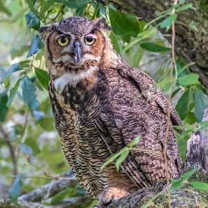 Great Horned Owl 2 135-Edit.jpg