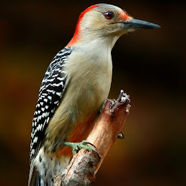 Female Red-Bellied Woodpecker. by Paul Mays - Animals Birds