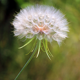 Dandelion by Scott Block - Nature Up Close Other plants ( nature, dandelion, weed, close up, flower,  )