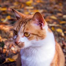 Autumn blending by Lizette Oosthuizen - Animals - Cats Portraits ( orange tabby, orange, cat, tabby cat, season, ginger, seasons, autumn, pet, cat portrait, fall, fur, leaves, ginger cat, kitty )