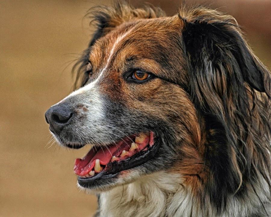 Sage - English Shepherd by Twin Wranglers Baker - Animals - Dogs Portraits (  )