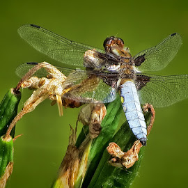 dragonfly 10 by Dunja Kolar - Animals Insects & Spiders ( croatia, zagreb, botanical, dragonfly )