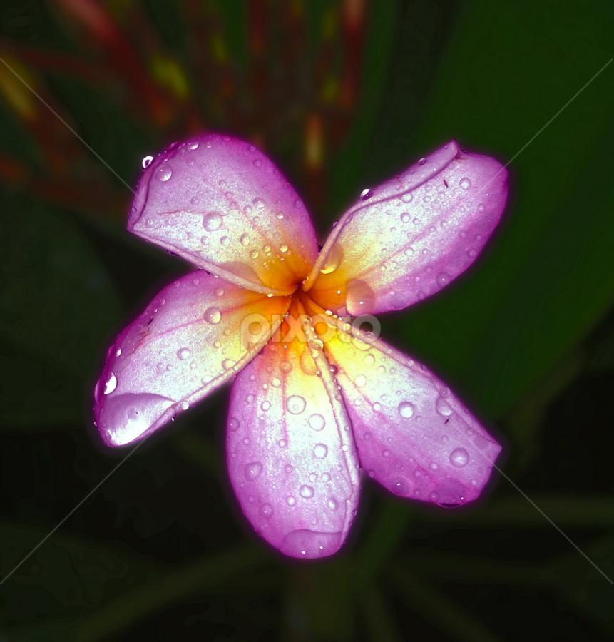 that night by Git Gitos - Flowers Flower Gardens ( pink, flower garden, frangipani, night shot )