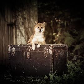 Majestic Oushou by Magdalena Sikora - Animals - Dogs Portraits ( shiba king, shiba inu, shiba portait, dog portrait, dog posing )