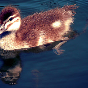 Duckling Reflection by Joanne Draper - Novices Only Wildlife ( duckling, nature, australia, wildlife )