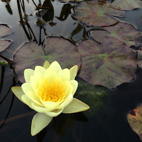 Lily pond by Barbara Storey - Flowers Single Flower ( water, nature, lily, summer, lily pad, pond, flower )