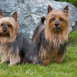 Emma and Ben by Dagmar Fialová - Animals - Dogs Portraits ( two, australian_silky_terrier, dogs, silky_terrier, dog portrait, dog )