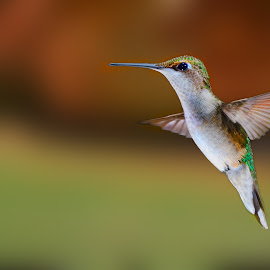 by Lyle Gallup - Animals Birds ( bird, flying, flight, animals, colorful, delicate, hummingbird, small, animal )