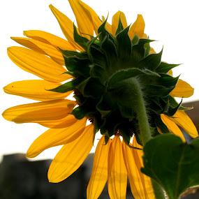 Singale flower by Tahir Sultan - Flowers Single Flower ( #flower, #photos, #hobbey, #nikon, #sunflower,  )