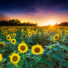 3 suns by Edward Kreis - Flowers Flowers in the Wild ( lee filters, sunflowers, sunset, sunflare, hot, maryland, blood suckers, landscape, humid, insects, flowers, gradient filter )