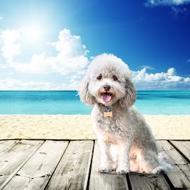 Beach Puppy by Sean Stevens - Animals - Dogs Portraits ( clouds, pet photography, sky, poodle, pet, cloud, dog portrait, dog photography, beach, dog portraits, dog )