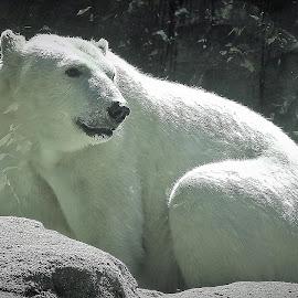Polar bear by Mary Gallo - Animals Other Mammals ( white bear, polar bear, white, mammal, nature, animal, zoo animal, bear )